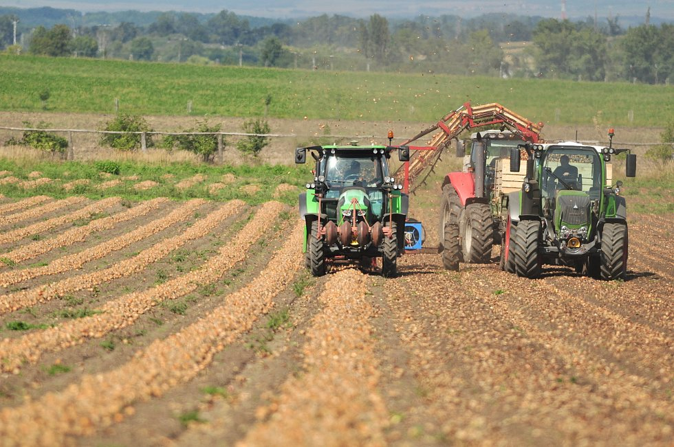 Sklizeň cibule na farmě Zdeňka Šebesty v Dolních Dunajovicích na Břeclavsku začala o tři týdny později. Kvůli vytrvalým dešťům a mokré půdě.