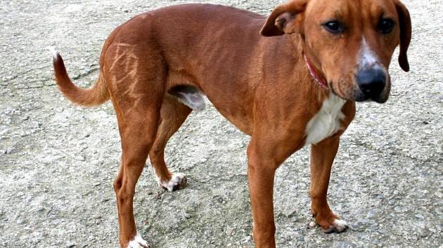 Akim, kříženec stafordšírského teriéra,1-2 roky, hledá se majitel, pes má na pravé noze vyholené jméno