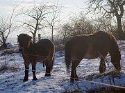 Mezi Havraníky a Hnanicemi a u Mašovic si úspěšně zvykají malá stáda exmoorských poníků.