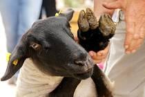 Bečení ovcí a zvuk stříhacího stojku střídaný s dechovkou a do toho vůně pečeného jehněčí. To vše mohli vnímat návštěvníci nultého ročníku sobotní výrovické novinky – Ovčáckých slavností.