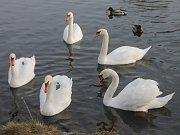 Desítky labutí zcela ignorují okolní dopravní ruch ve Znojmě.