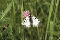 Lesní motýl jasoň dymnivkový.
