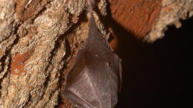 Jeden z našich nejvzácnějších netopýrů vrápenec malý, patří mezi kriticky ohrožené druhy.