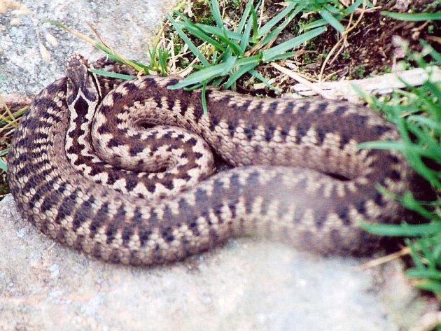 Náš jediný jedovatý had zmije obecná je typickým druhem rašelinišť, mokřadů a horských luk.