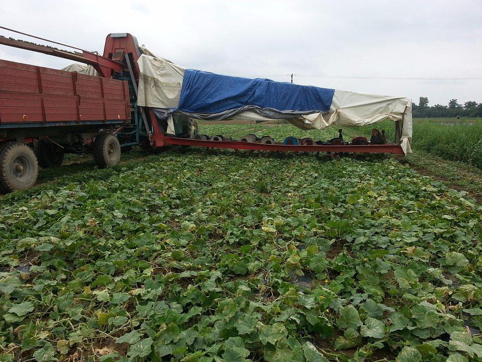 Mezi poslední pěstitele okurek 'nakladaček' patří na Znojemsku rodinná firma Lukop z Tasovic.