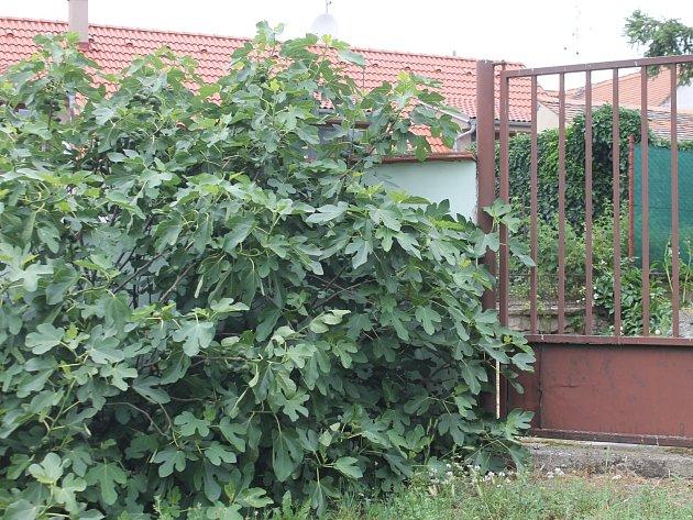 Fíkovníkům se na znojemském Hradišti velmi daří. Jeden z největších roste v areálu podniku Lesy ČR, který má na Hradišti své sídlo. Letos je tento keř doslova obsypán plody. Zda zcela dozrají, to záleží na počasí v nadcházejících měsících.