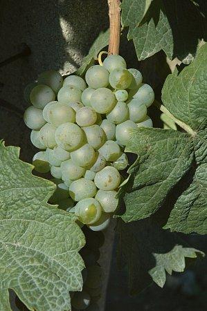 Vynikající Ryzlink rýnský idalší odrůdy pěstují vinaři na kopci Šobes vmeandru řeky Dyje na Znojemsku. Zájemci je mohou vmístě ochutnat ve speciálním stánku. Místo si kvůli chráněné poloze oblíbila řada ohrožených druhů.