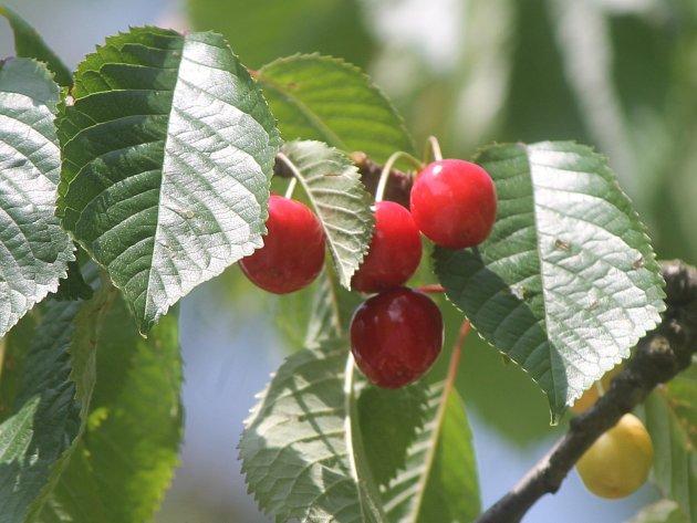 Třešně májovky už dozrávají například nedaleko znojemského Hradiště.