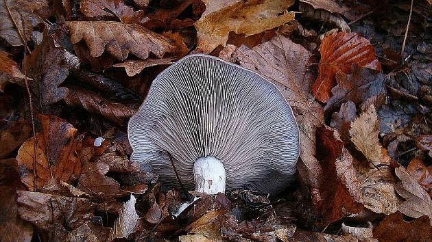 Čirůvka fialová – podzimní houba, která roste od září hojně v lesích různých typů. Dobrá jedlá houba, kterou lze upravovat nejrůznějšími způsoby a lze ji i sušit. Pouze zasyrova je však zdraví škodlivá.
