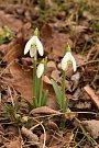 Mimo vřesoviště a ve vlhčím prostředí kvetou známé sněženky. Na Znojemsku zřejmě největší a hojně navštěvovaná je lokalita u Božic v Údolí lásky.