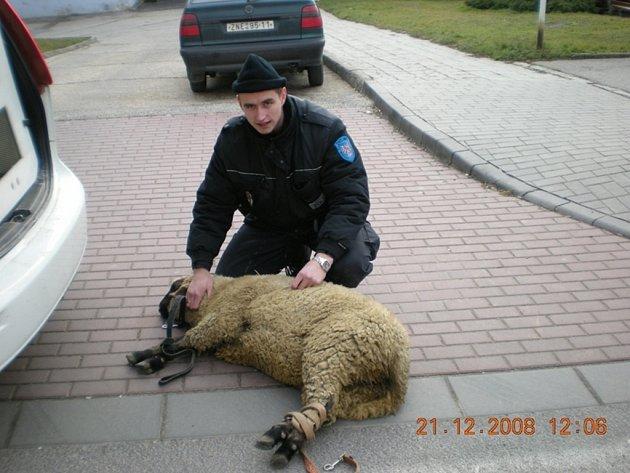 Ovce odchycená na ulici Milady Horákové.