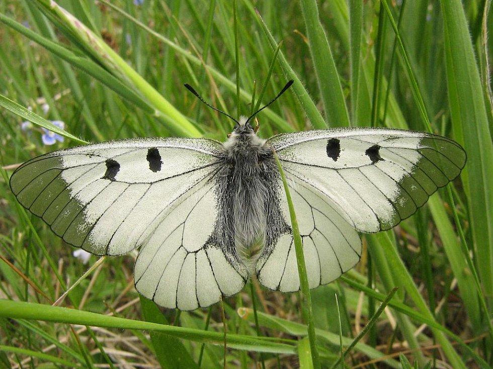 Typickým zástupcem otakárkovitých motýlů Podyjí je jasoň dymnivkový. Je příkladem ohroženého motýla lesního prostředí. Motýl nedávno vymizel z Čech a na Moravě má již jen několik stabilních populací.