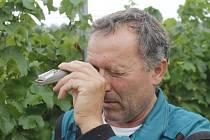 Pět set kilogramů hroznů odrůdy Solaris sklidil 17. srpna 2015 vinař Pavel Matouš z Olbramovic. Připraví z něj burčák.