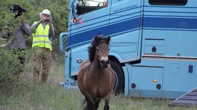 Speciální kamion přivezl z Anglie na vřesoviště u Havraníků malé stádo vzácného exmoorského pony.