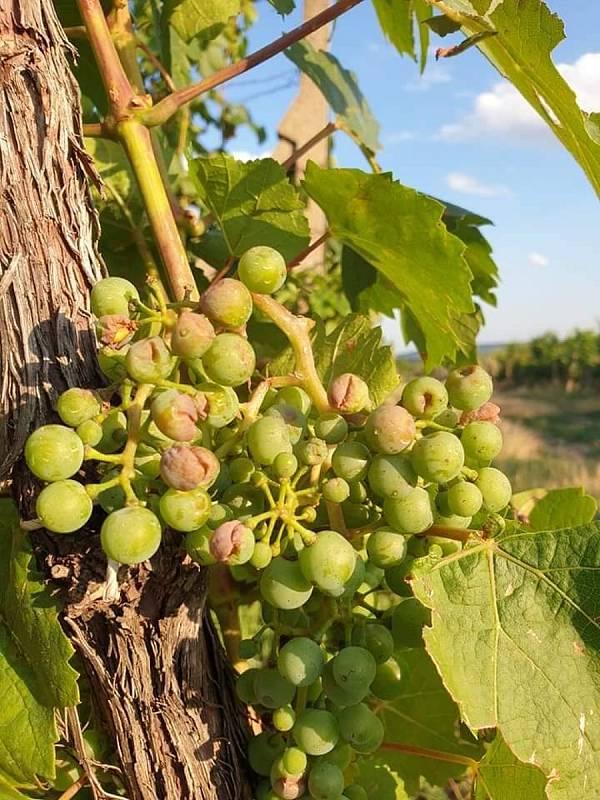 Kroupami zničené hrozny révy vinné v Hustopečích ve vinici patřící Vinnému sklep u Otáhalů.