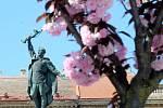 Sakury kvetou i na Mariánském náměstí v okolí sochy Rudoarmějce, který je součástí Pomníku vítězství.