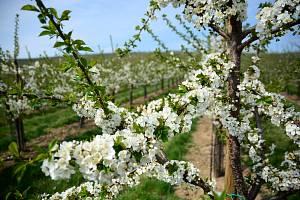 Kvetoucí sad ve Stošíkovicích.