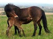 První hříbě exmoorských poníků se u Havraníků narodilo desátého dubna vpodvečer.