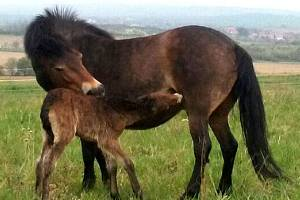 Hříbě exmoorských poníků u Havraníků na Znojemsku z roku 2019.