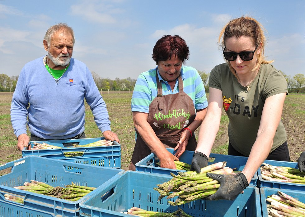 Chřest, lidově také špargl. V Hraběticích na Znojemsku začali se sklizní zeleného chřestu.