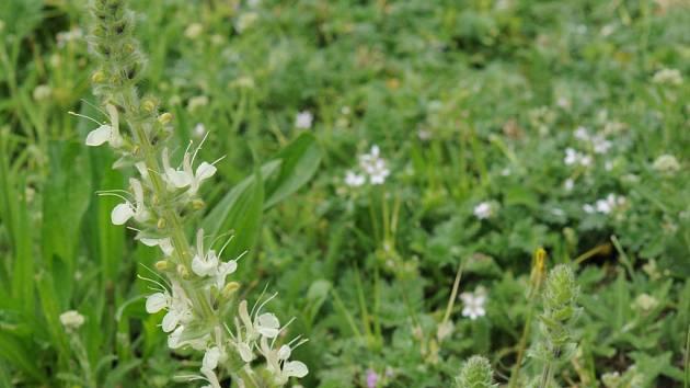 Ve Znojmě právě kvete šalvěj rakouská, vedená na červeném a černém seznamu cévnatých rostlin jako vyhynulý druh naší flóry.