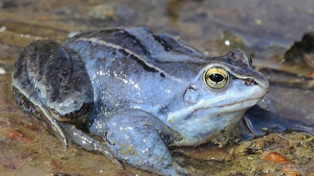 Žabí námluvy začaly letos dříve. Na snímku je skokan ostronosý.