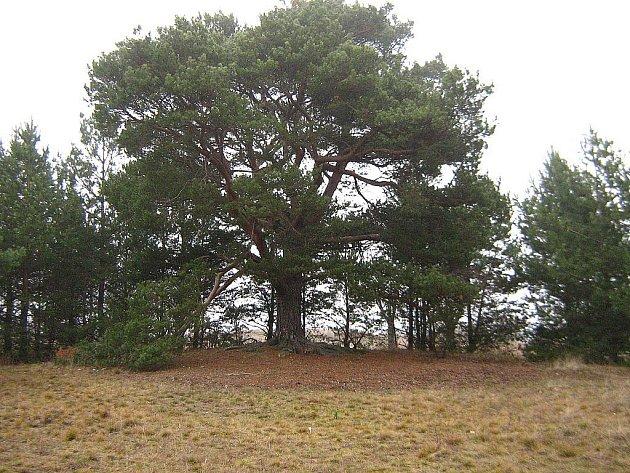 Asi nejbizarněji vypadající dřevinou je mohutná borovice, kterou můžete vidět cestou přes vřesoviště z Havraníků směrem ke studánce Pod Lipami. Roste od stezky vpravo asi 50 m a připomíná skrýš loupežníků.