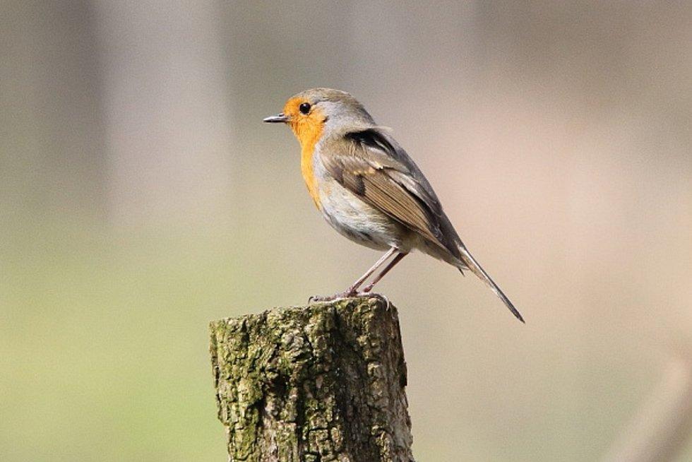 Dva nové druhy kachen i chřástala vodního a další druhy ptáků v rekordním počtu zaznamenali ornitologové v Národním parku Podyjí. Na snímku červenka obecná.