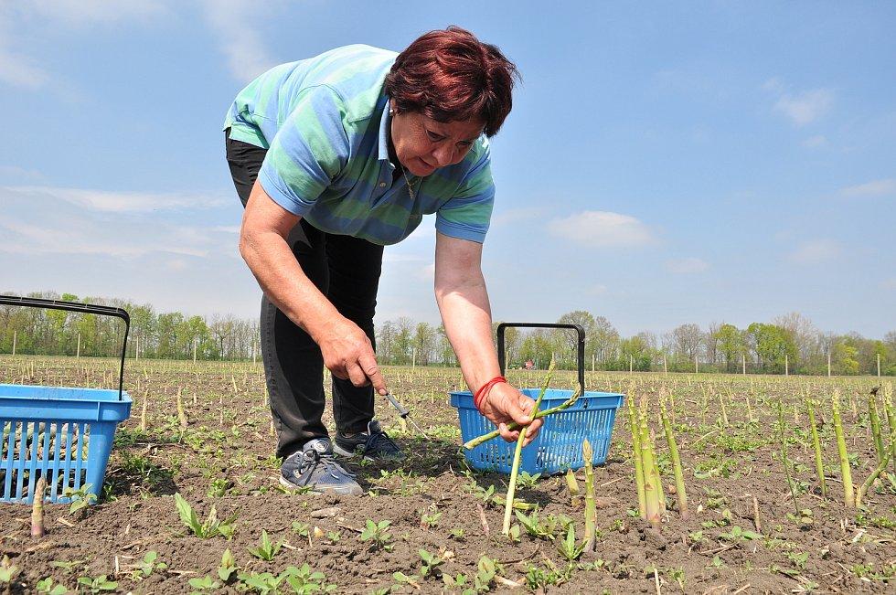 Chřest, lidově také špargl. V Hraběticích na Znojemsku začali se sklizní zeleného chřestu. Na snímku Eva Bártová
