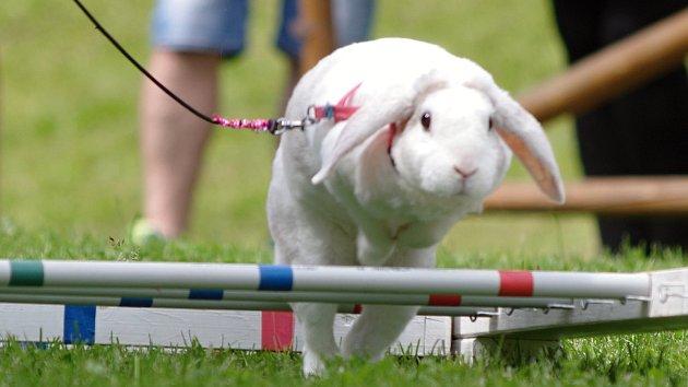 Závod v králičím hopu: skákáním přes překážky si zachránil život před pekáčem