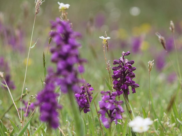 U Znojma vykvetly tisíce orchidejí.