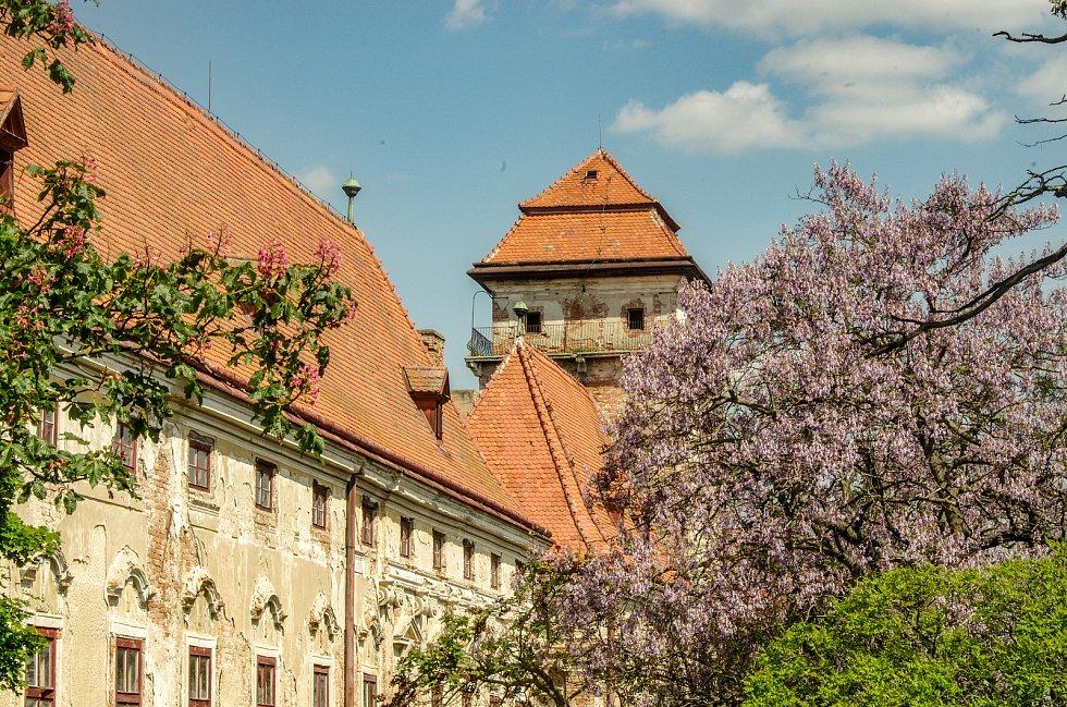 U jaroslavického zámku rozkvetly okrasné pavlovnie.