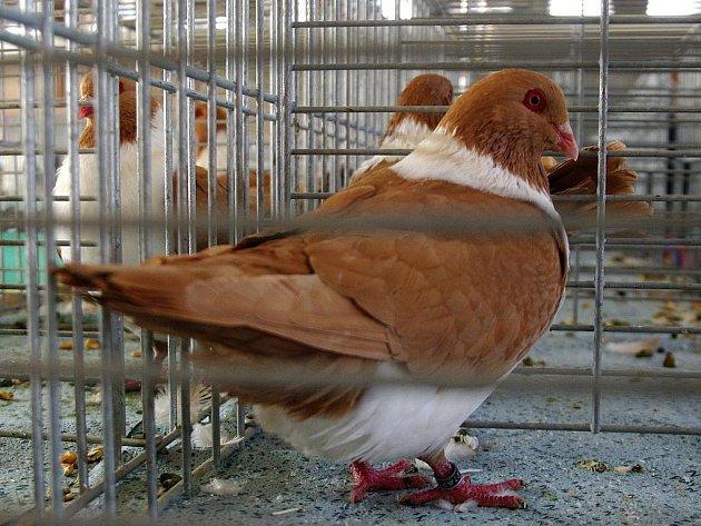 Čeští stváci, koburští skřivani, moravští pštrosi nebo slezští barevnohlávci. To jsou jen některé druhy holubů, které vystavují chovatelé na pátém ročníku okresní a oblastní výstavy holubů a dalšího drobného zvířectva.