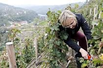 Městská vinice v Karolininých sadech ve Znojmě firmy Lahofer. Ilustrační foto.