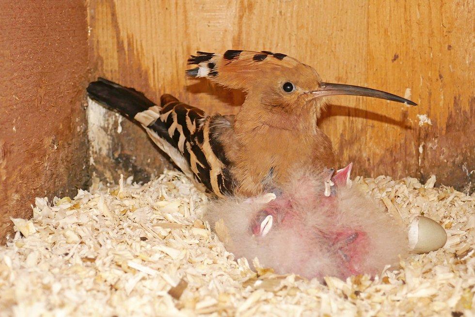 Díky projektu brněnské zoo na ochranu ohrožených dudků chocholatých se v červnu na jihu Moravy vylíhlo šest mláďat.