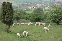 Pastva na Drahách.