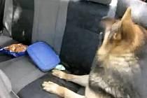 Služební pes jihomoravských celníků našel v osobním autě mladého českého páru u Hatí u Chvalovic na Znojemsku balíček marihuany.