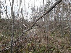 Voskovička jsanová zničila na Znojemsku tři procenta lesů. Nejvíc ejsou zasažené jasanové porosty u Lechovi.