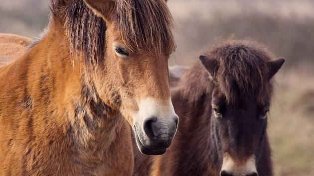 Exmoorský poník.