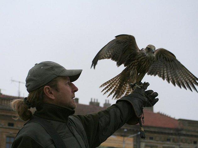 František Miroš se svými dravci vytlačuje z nejpostiženějších míst Znojma holuby, kteří svým trusem obtěžují lidi a způsobují škody i na majetku.