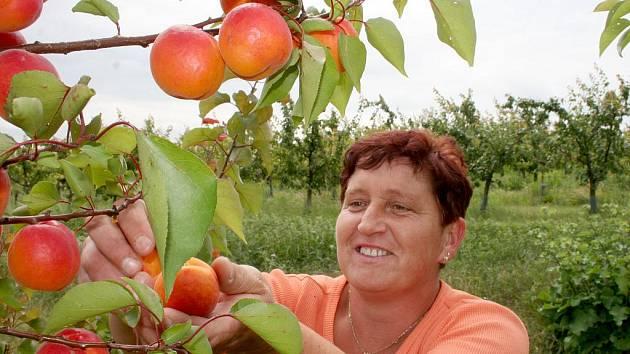 JEN OCHUTNAT. Zralé, pěkně vybarvené meruňky sklízí u Těšetic také pracovnice Pomony Renata Buchtová.