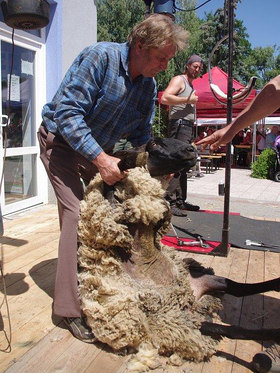 Zdeněk Lacina stříhá ovce už půl století.
