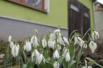 Sněženky už vykvetly například u jednoho z domků v Hostěradicích.