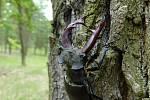 Roháč obecný je největším  broukem  Evropy. Výrazná kusadla  samců neslouží  k lovu, ale k soubojům o samici.