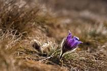 Z procházky na Cínovou horu: koniklece už kvetou!