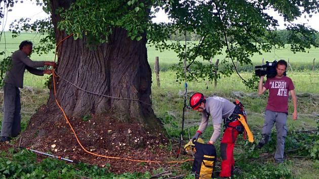 Kvalifikovaný arborista dorazil v pondělí do Božic, aby tam místní lípě pomohl odborným zásahem v dalším růstu.