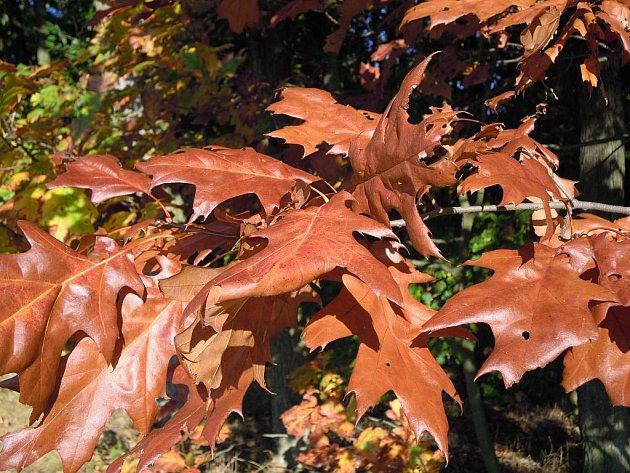 Cizokrajný dub červený svoje jméno rozhodně nezapře. Jeho listy dostávají až křiklavě nachové zabarvení.