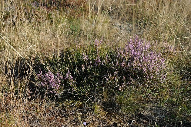 Na některých místech už vPodyjí kvetou vřesy, obvykle přitom vykvétají až koncem léta.