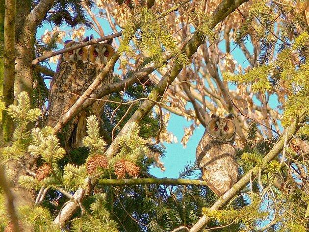 Kalousi ušatí se usazují na dřevinách jak jehličnatých, tak i listnatých.