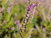 Na některých místech už v Podyjí kvetou vřesy, obvykle přitom vykvétají až koncem léta.